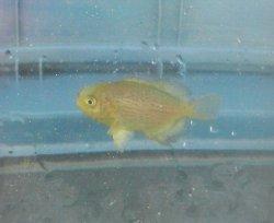 画像3: メダイ幼魚