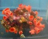 オオエダキサンゴ(2Lサイズ)