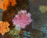 トゲトサカ ピンク系(約3センチ前後)