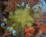 ウミシダの仲間(約20センチ前後)深海産
