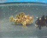 カエルアンコウ ベビー(約3センチ前後)縞系B1