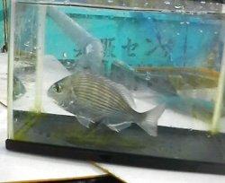 画像1: 《近海産海水魚》ヘダイ(Mサイズ)…ハンドコート採取