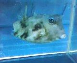 ウミスズメ(Mサイズ)