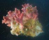 サンゴモドキ(約4センチ)