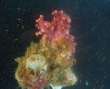 サンゴモドキ(約5センチ)