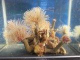 《近海産海洋生物》ケヤリムシ(8本付きコロニー)…当店ハンドコート採取