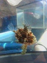 マトウダイ幼魚(約3〜4センチ前後)