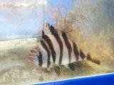 ユウダチタカノハダイ幼魚(7〜8)