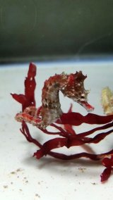 ハナタツ幼魚(ブリード、赤系)雌個体
