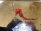 ハナタツ幼魚(ブリード、赤系)