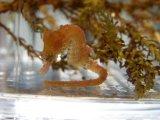 ハナタツ幼魚(国産ブリード、赤系)雌個体