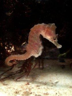 画像1: 《海水魚》タツノオトシゴ(ワイルド個体)…ハンドコート採取