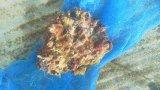 ウミイチゴ(土台カキツバタ)