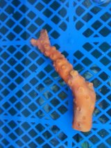 オノミチキサンゴ(11センチ前後)