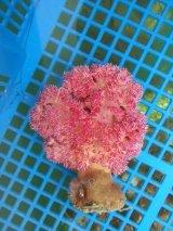 トゲトサカ(ピンク系)9センチ前後