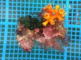 LWL(エントウキサンゴ、紅藻、ミルの仲間付き)