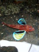 トゲカナガシラ(Mサイズ)12〜16センチ前後 ヒレ再生個体・・餌食べてます