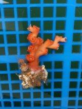 オキノセキサンゴ(5センチ前後)