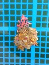 サンゴモドキ(約6センチ前後)