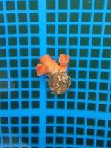 シロバナキサンゴ(約3センチ前後)