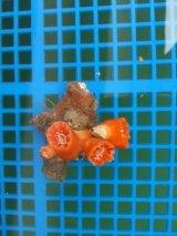 シロバナキサンゴ(4センチ前後)