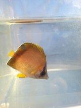 シラコダイ 幼魚(3センチ前後)