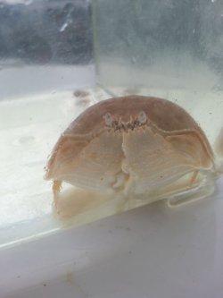 画像1: 《近海産甲殻類》マルソデカラッパ