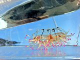 《近海産海洋生物類》ハナガサクラゲ(2匹セット)…ハンドコート採取
