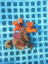 エントウキサンゴ(8センチ前後)