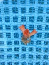シロバナキサンゴ(3センチ前後)