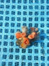 シロバナキサンゴ(6センチ前後)