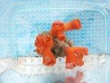 シロバナキサンゴ(5センチ前後)