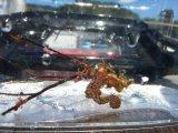 ハナタツレッド(ワイルド個体)・・幼魚色から赤くなります(軟骨発達強)
