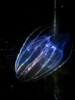 画像1: ☆☆神秘的な輝き・・カブトクラゲ(ご注文後に採取いたします)