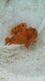 《近海産》オオモンカエルアンコウ(黄橙色)…ハンドコート採取