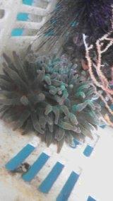サンゴイソギンチャク(特大サイズ)