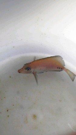 画像2: ニザダイ幼魚(Sサイズ)
