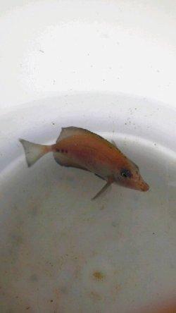 画像1: ニザダイ幼魚(Sサイズ)