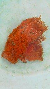 ウミカラマツ(オレンジ)枝折れ個体