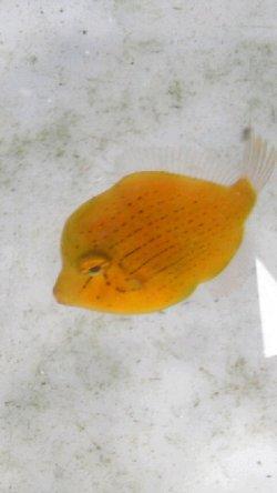 画像2: アオサハギ幼魚(1〜2センチ前後)