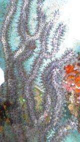 フトヤギ青紫(4Lサイズ)