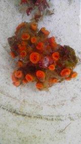 ホソアシサンゴの仲間(約6センチ前後)