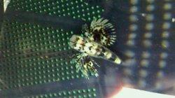 画像1: セミホウボウ 幼魚
