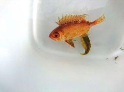 画像1: キビレキントキ幼魚