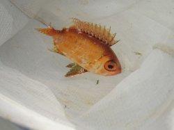 画像2: キビレキントキ幼魚