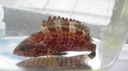 画像2: 《近海産海水魚》オオモンハタ…ハンドコート採取