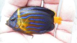 画像1: キンチャクダイ(幼魚模様変化中)