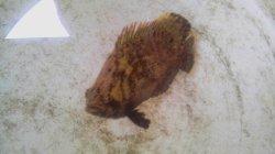 画像2: ☆★☆マツダイ幼魚(3〜5センチ)・・当店ハンドコート