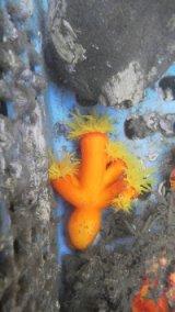 エントウキサンゴ(枝タイプ)