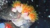 オオエダキサンゴ